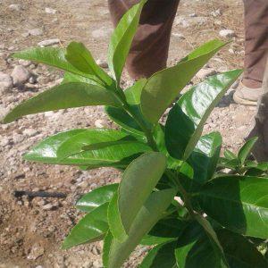 درخت لیموی فرآوری شده با گوگرد