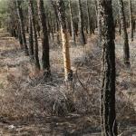علت سرخشکیدگی درختان