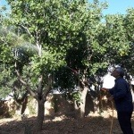 سم پاشی درخت پسته